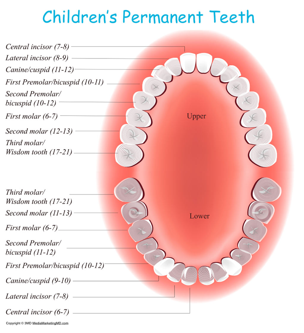 Permanent Tooth Eruption In Children - Kids Dental Online