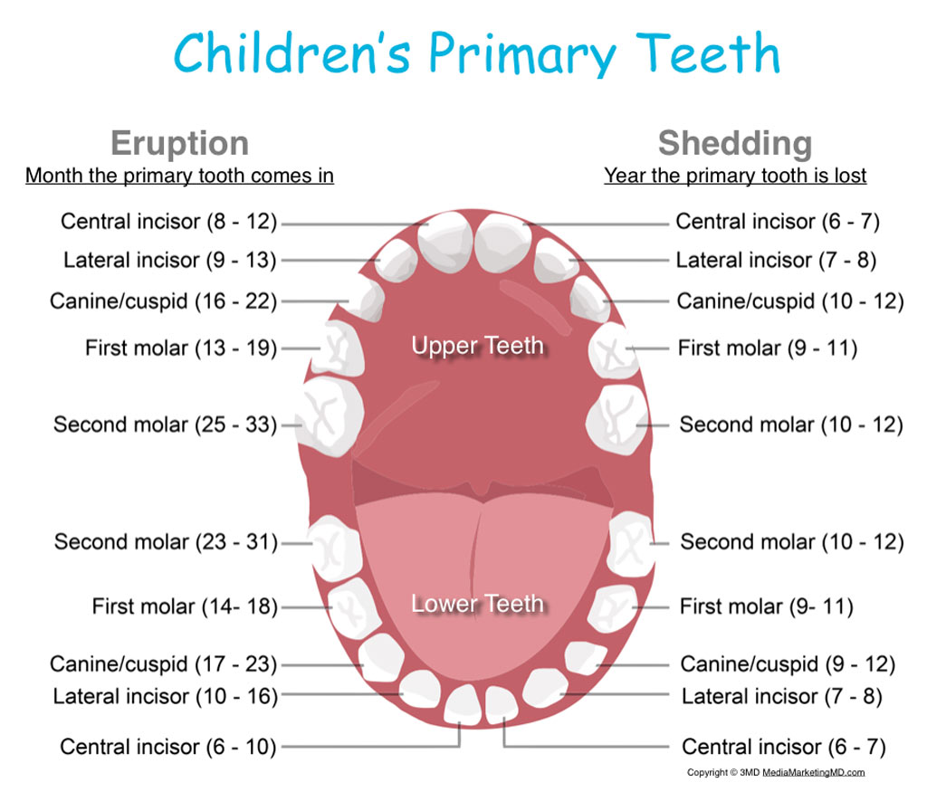 Stages of Teething and Helpful Hints primary teeth in kids