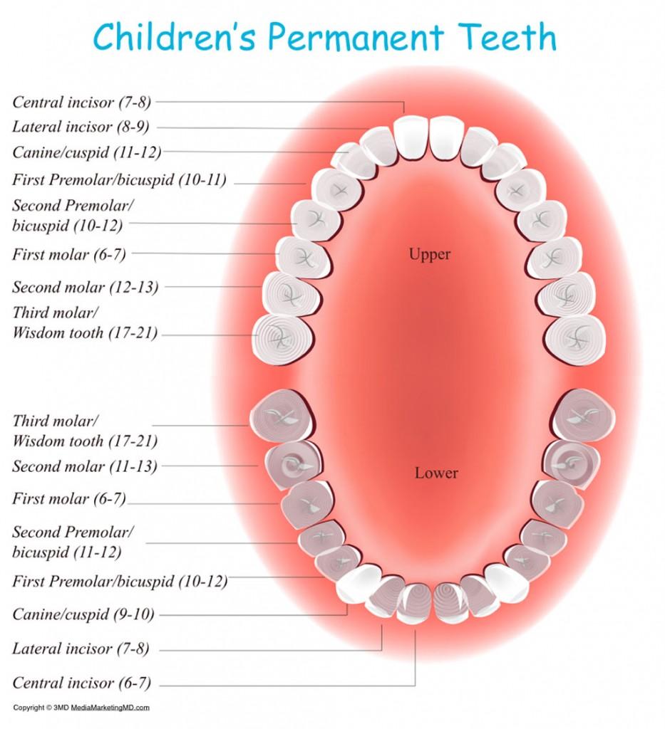 Dr Hlt Kids Dental discusses Permanent Tooth Eruption In Children