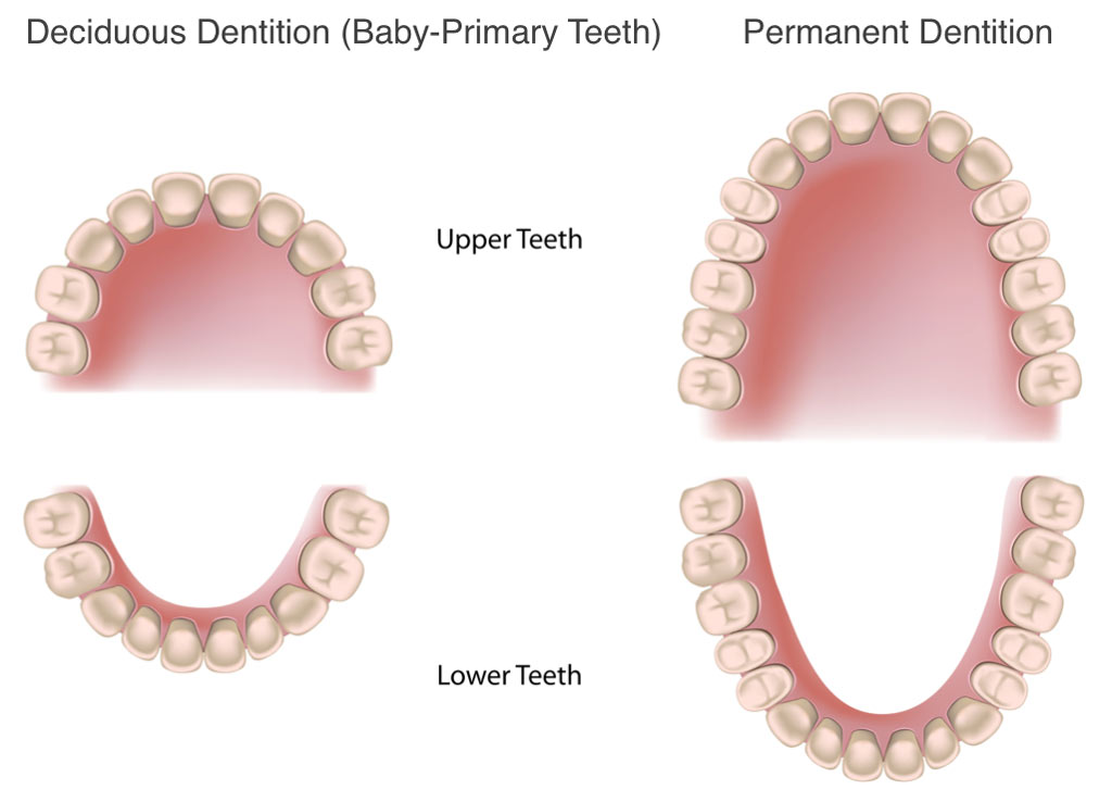Deciduous Dentition (Baby-Primary Teeth) Permanent Tooth Eruption In Children